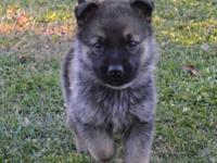 purebred German Shepherd puppies available.ATTACH your
