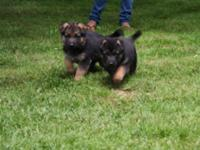 Purebred GSD puppies. 6 weeks old, first shots and