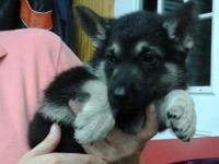 I have purebred German Shepherd puppies that are ready