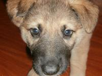 3 Purebred Male German Shepherd Puppies. Born October