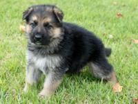 Male black colored German Shepherd Dog. He will be a