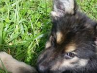 Mom&DadAKC German Shepherd..have female puppy. Ready to