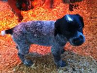 We have beautiful German Shorthair Pointer puppies born