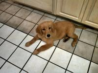 3 GOLDEN RETRIEVER PUPPIES NEEDING FOREVER HOMES. BORN
