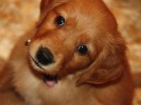 Stunning Purebred RED Golden Retriever Puppies !!!