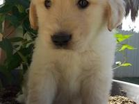 Purebred Golden Retriever puppies,all very adorable and