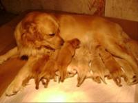 Our golden retriever just gave birth to 8 beautiful