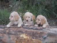 Purebred Golden Retriever Puppies for Sale.  3