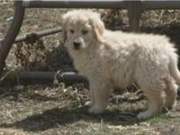 beautiful and playful golden retriever pups - both