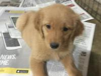 I have a litter of purebred golden retriever puppies