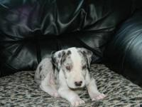 Arielle is a purebred Great Dane female puppy born June
