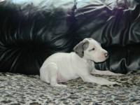 This puppy is reserved Bolt is a pure bred Great Dane