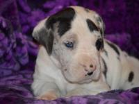 Gunnar is a purebred Harlequin Great Dane Male puppy.