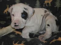 Hector is a purebred male harlequin Great Dane puppy.
