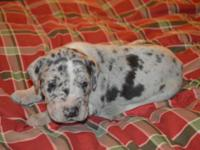 Jasper is a purebred Great Dane Male puppy. try hard