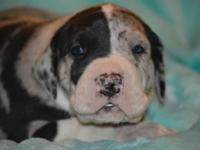2 male and 2 female terrific dane puppies for sale.