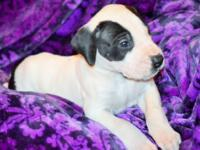 Mordecai is a sweet gentle piebald great dane puppy.