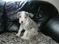 Nitrina is a purebred Great Dane female puppy that was