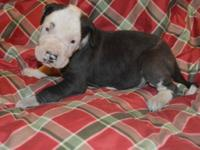 Panda is a purebred Great Dane Male puppy. He was the