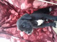 Beautiful, sweet Great Dane pups available now. They