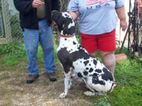 We have four huge Great Dane puppies available the