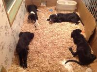 4 Purebred Great Dane new puppies left - looking for