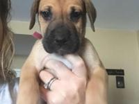 Purebred AKC Great Dane puppies for sale! 3 females