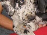 I have a Purebred Great Dane Puppy. She is a very