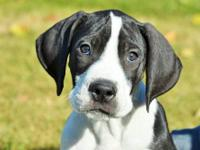 Niko is a purebred Great Dane Mantle male puppy. Nice