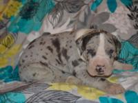 Sonyis a blue merle great dane male puppy. He was born