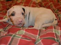 Tinkerbelle is a purebred harlequin great dane puppy.