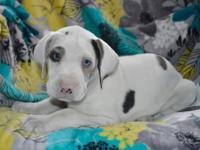 Tinkerbelle is one beautiful great dane female puppy.
