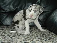 This puppy is reserved. Wendy is a purebred Great Dane
