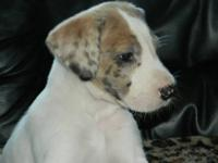 Yeppa is a purebred Great Dane female puppy. She was