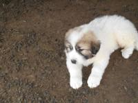 Very cute male great pyrenees puppy. He is from working