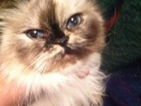 5 month old Seal Point Himalayan kitten. She is