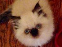 I have 7 purebred Himalayan kittens at 10 wks of age as