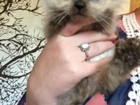 Purebred Himalayan kittens - 3 chocolate point male