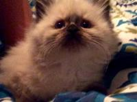 These adorable 9 week old Himalayan kittens are litter