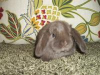 Purebred Holland Lop rabbit babies for sale! All of my