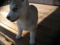 Purebred Husky pups. 8 weeks old, first shots,