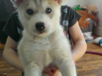 I have two male Husky Puppies up for adoption. They