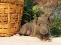 I have this little girl italian greyhound. She was born