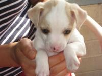 2 female Jack Russell Terrier puppies, tail docked,