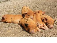 Registered purebred Kunekune piglets now available in
