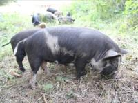 Purebred Kunekune pigs now available in Washington