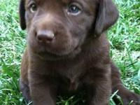Chocolate AKC lab puppies. Excellent bloodlines. Born