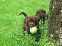 We have a few labrador puppies looking for great