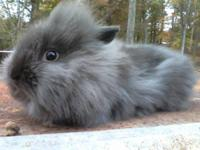 Lionhead rabbits We are a small rabbitry our rabbits