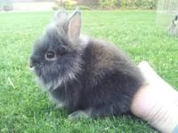 Purebred lionhead bunnies! Very cute, fluffy, and